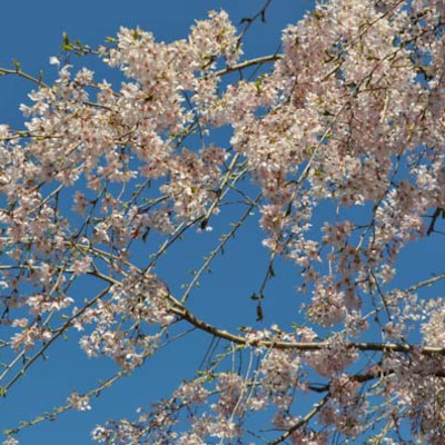 そうだ京都に行こう#春はあけぼの・JU東海の記事に添付されている画像