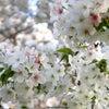 春のゲンかつぎと滑り込み花見の画像
