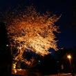 フフの夜桜!