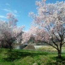 若い桜の木は真っ盛り…