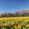 * 桜吹雪と水仙畑の画像