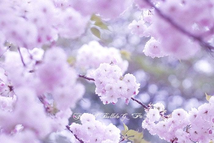フレンチブルドッグ・パン オフィシャルブログ 桜