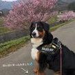 夜桜♪高遠城址公園へ
