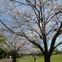 一瞬の桜と桜のお菓子