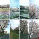 残念!~今年の桜はグレーな空ばかりでした~の記事より