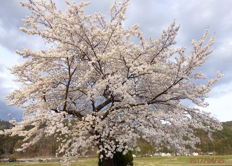4月25日の桜