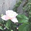 チューリップが咲いた*花便り園芸日誌♪の画像