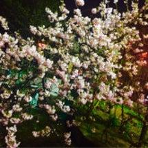 桜の通り抜け(∗ ˊ…
