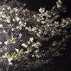 ▼唸声日本写真/ナイト俳句:夜の花水木の画像