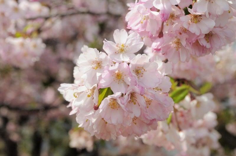 思川桜081