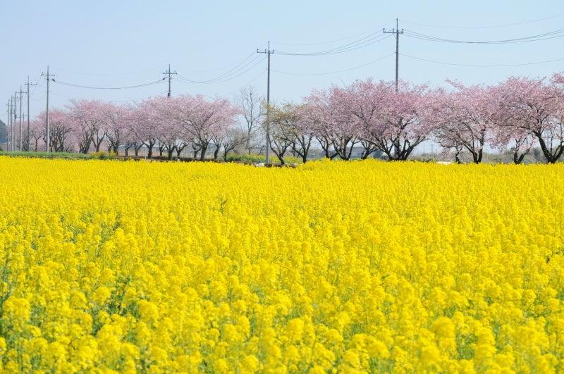 思川桜091