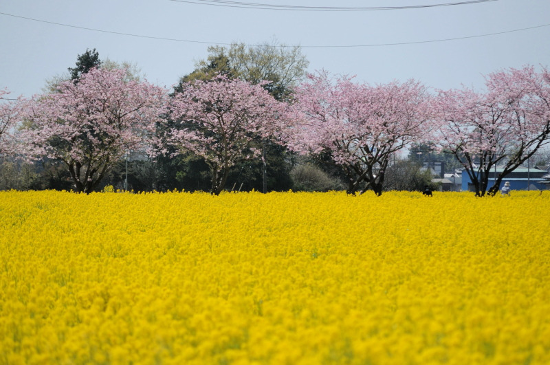 思川桜093