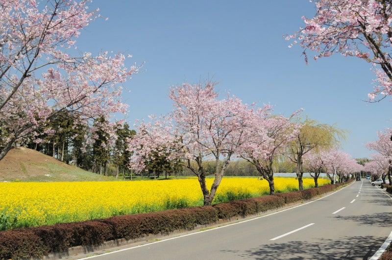 思川桜086
