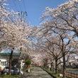 横手市は今が桜満開!…