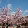 2/2  桜花繚乱の…