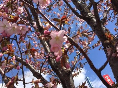 桜 咲いてました♪