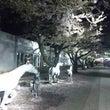 青森県十和田市の桜