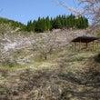 羽山の桜の散歩043…