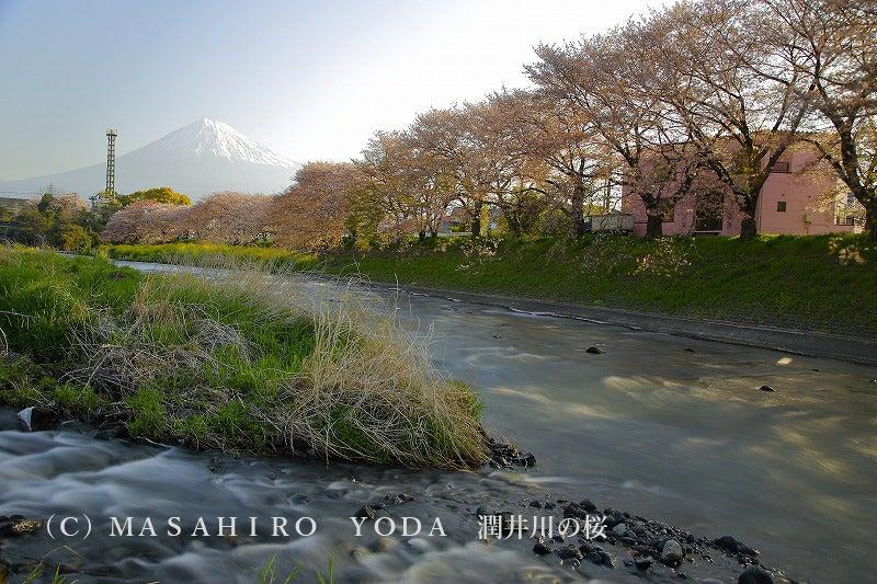 潤井川の桜(静岡県富士宮市)龍...