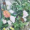 園芸日誌*花便り*チューリップ最新品種♪の画像
