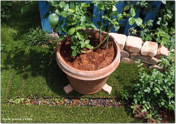 バラ 鉢植え