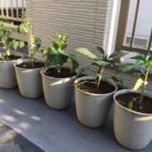 野菜の苗を植えました…