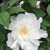 今朝の花の画像