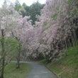 半田山の桜、まだ頑張…