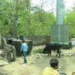インドの牛と犬