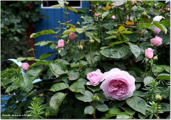 オリビアローズオースチン バラ