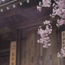 京都大原三千院の桜