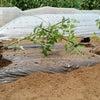 5月3日(水)トマトの植え付けの画像