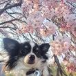 桜を見て毎年思うこと