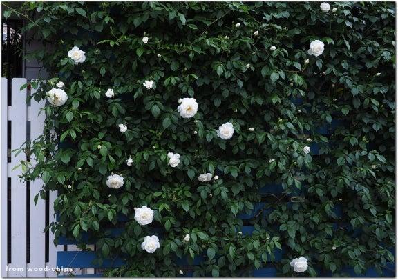 アイスバーグ つるバラ