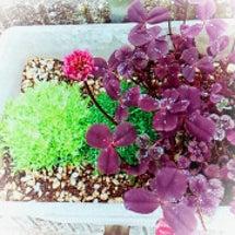 クローバーの花 (*…