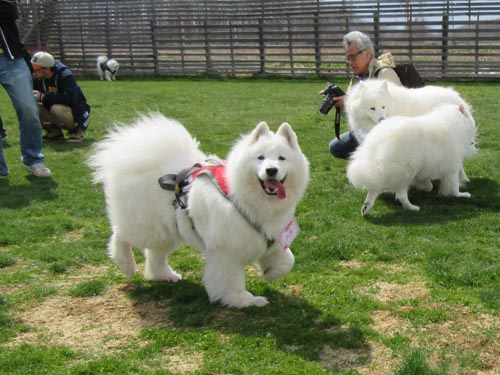 Image result for samoyed  犬  走る