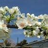 梨の摘花の画像