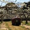梨の人工授粉の画像