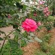 ハイキングして、薔薇…