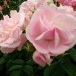 薔薇。春がすみ、