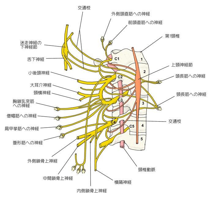 骨格の歪みと筋肉の関連性骨格45 | 骨盤骨格矯正専門カイロ ...
