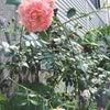 園芸日誌*薔薇たちが開花しました♪の画像