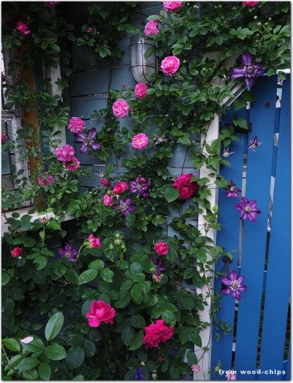 ウイリアムシェークスピア2000 バラ