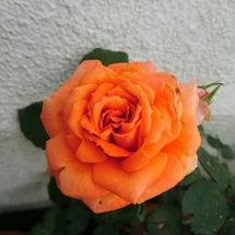 コンサートと薔薇と……