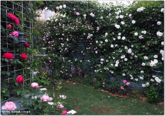 つるバラ フェンス