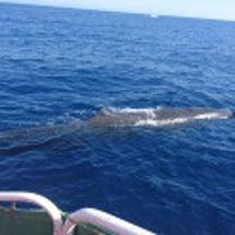 マッコウクジラ当たり…