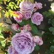 満開な薔薇