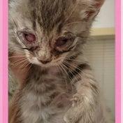 目が真っ赤で開かない仔猫