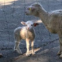 南ヶ丘牧場の羊と濃厚…