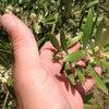 オリーブの花が咲き始めましたの画像
